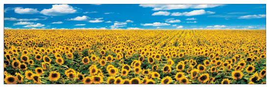 Quadro Decorativo A Sunflower Field In Provence